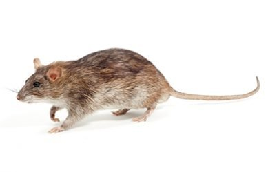 ongedierte bruine rat