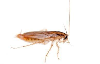 Irado Ongediertebestrijding - kakkerlakken