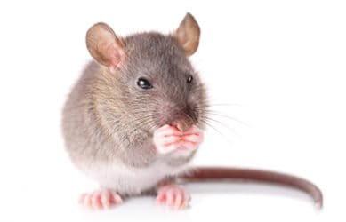 Irado Ongediertebestrijding - muizen