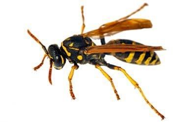Irado Ongediertebestrijding - wespen