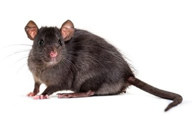 Irado Ongedierstebestrijding - Ratten